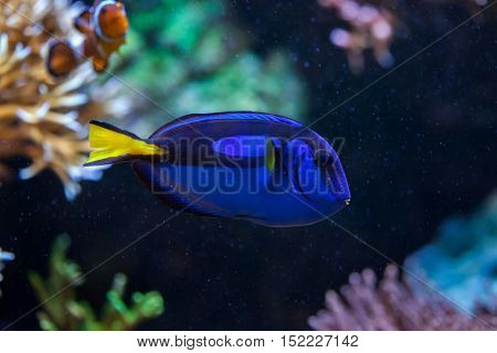 Blue surgeonfish (Paracanthurus hepatus), also known as the blue tang. Wildlife animal.