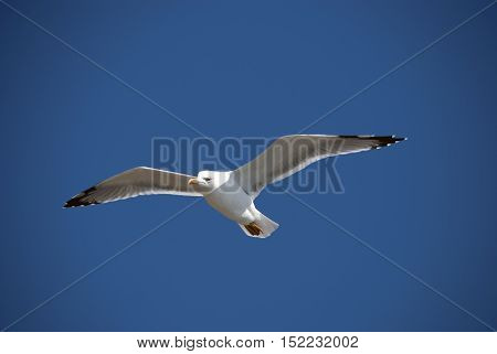 large white seagull on a background of blue sky