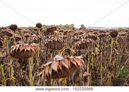 Dried sunflowers on a field in autumn