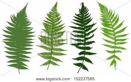 Illustration of different ferns isolated on white