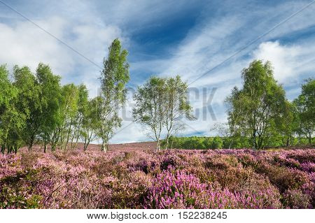 Purple Heather Flowers and Birch Trees Background