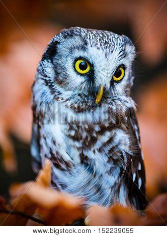 Boreal owl in the orange larch autumn tree, close-up.