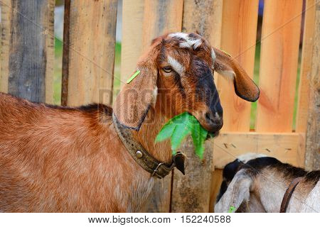 Cute Goat Eating Green Leaves In A Courtyard Of The Farm