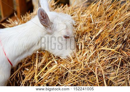 White Hornless Goat Eating Hay In A Courtyard Of The Farm