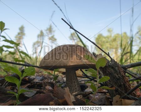 Picture of birch bolete in a forest