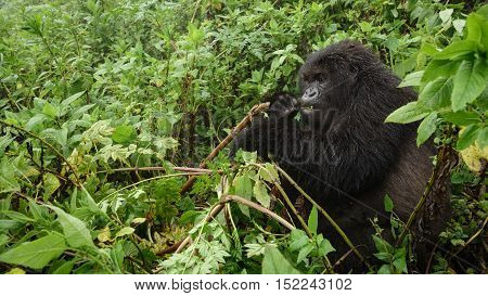 Front view of expressive mountain gorilla feeding in the wilderness of the forest