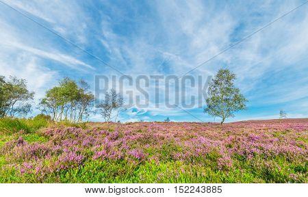 Birch Trees Among Blooming Purple Heather Flowers Field