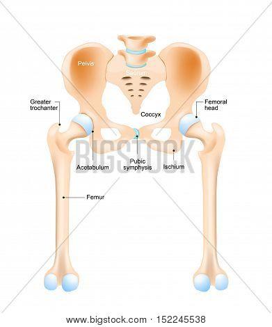 Anatomy of the hip. Human femur and pelvis