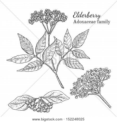 Ink elderberry herbal illustration. Hand drawn botanical sketch style. Absolutely vector. Good for using in packaging - tea, condinent, oil etc - and other applications