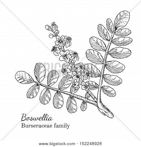 Ink boswellia herbal illustration. Hand drawn botanical sketch style. Absolutely vector. Good for using in packaging - tea, condinent, oil etc - and other applications