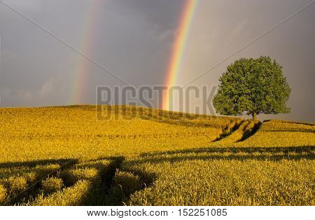 Rainbow over a field of wheat after passing rainstorm