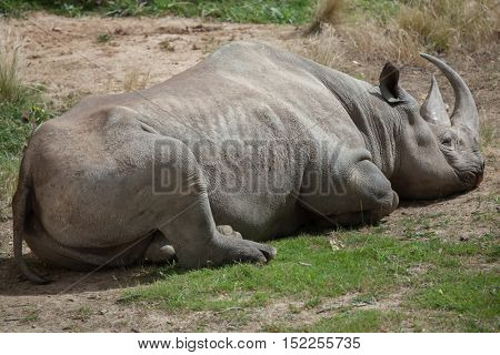 Black rhinoceros (Diceros bicornis). Wildlife animal.
