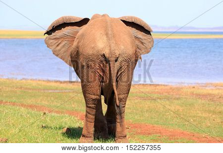 Rear end of an elephant with ears flapping in Lake Kariba - Zimbabwe