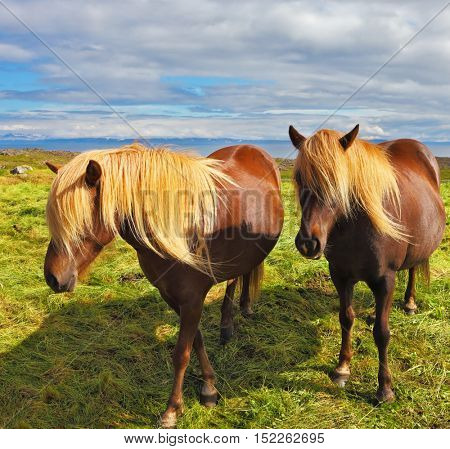 Summer in Iceland. Two Icelandic horses with yellow  manes on a free pasture