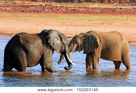 Two elephants playing about in Lake Kariba