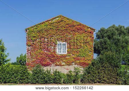 House with a wall almost covered by creeper ivy