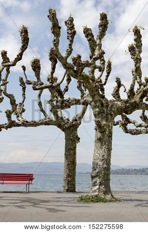 Two plane trees without leaves on the spring time by the lake