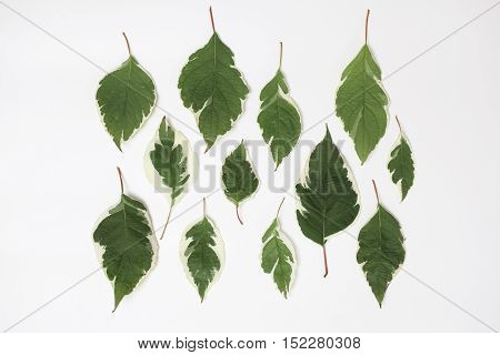 Creative arrangement of dogwood green leaves (cornus alba) on white background. Flat lay top view.