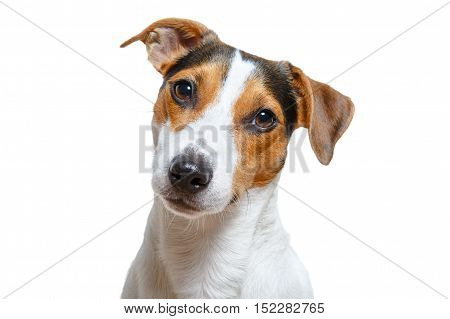 Studio shot of cute purebred Jack Russel Terrier