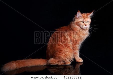 Female red solid maine coon cat sitting with beautiful brushes on the ears and long tail on black background. Closeup portrait.