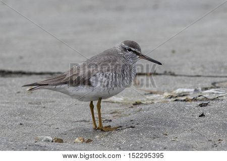 GREY-TAILED TATTLER standing on a sandy beach in the spring