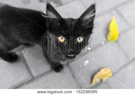 cute black kitten. pitifully looks outdoors in autumn.