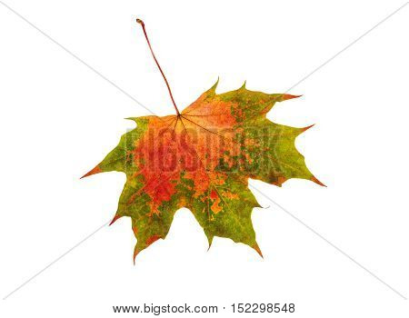 Fall leaf maple isolated on white background