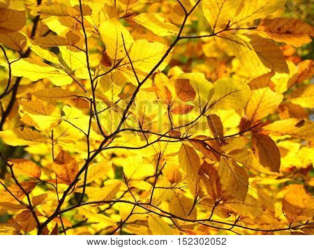 Fullframe picture of yellow autumn leafs on branch