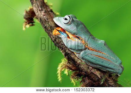 Tree frog, Javan tree frog sliping on branch