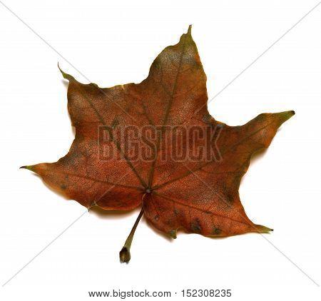 Brown Autumn Maple Leaf