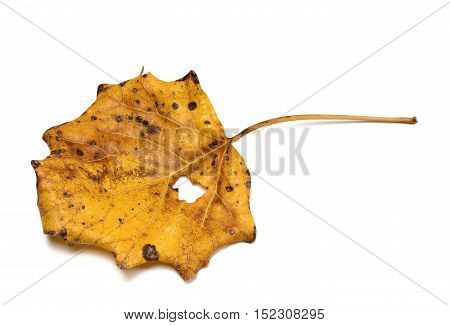 Autumn Dry Quaking Aspen Leaf