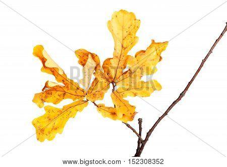 Yellow Autumn Leaves On Oak Twig