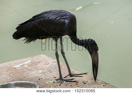 African openbill (Anastomus lamelligerus). Wildlife animal.