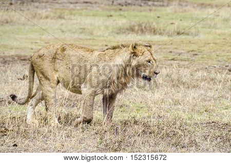 Jung male lion walking in Ngorongoro Tanzania poster