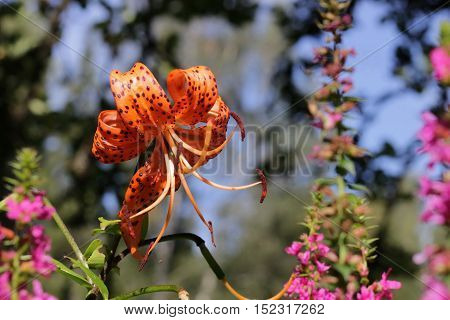 A macro close up of a beautiful Tiger lily in the sunshine