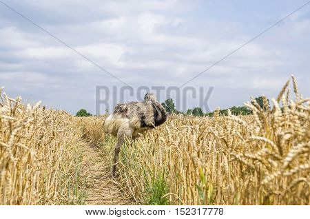 The american greater rhea (Nandu Rhea americana) cleaning its plumage in a grainfield in Mecklenburg-West Pomerania Germany. The ratites have erupted 15 years ago from an enclosure and now grown into a stable population.