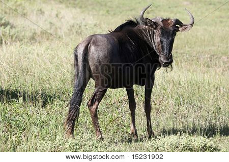 Portrait Of A Black Wildebeest Antelope In South Africa
