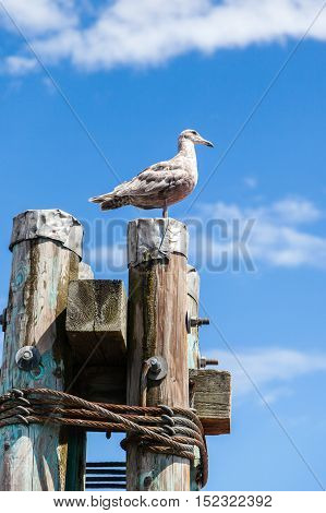 Grey Juvenile Western Herring Seagull (larus Occidentalis)