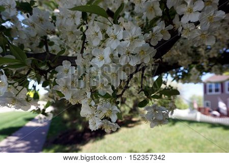 Blossoms of a Callery pear tree (Pyrus calleryana), also called the Bradford flowering pear, blooming in the Wesmere Country Club subdivision of Joliet, Illinois during May.