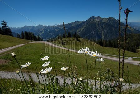Chamomile flowers in the alpine meadows near mountains
