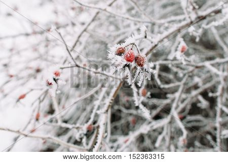 Hawthorn on frosty tree. Frozen sticks with frosty red berries on it. Cold, winter, early frosts, hoar concept
