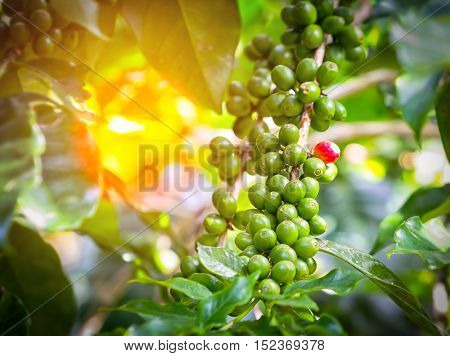 Green of unripe arabica coffee pods on the branch are waiting to be harvested and sunlight