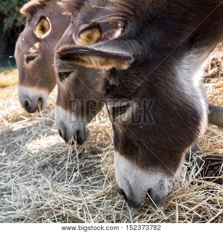 Three donkeys eating hay from the trough