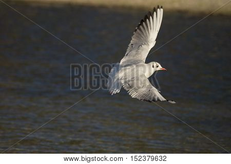 Close-up of a  beautiful flying Seagull. Seagulls (Laridae) in flight.  Wildlife. Animals in the Wild. Flying Birds.