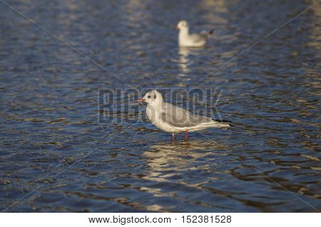 Some relaxing seagulls at the lake, Seagulls at the Lake