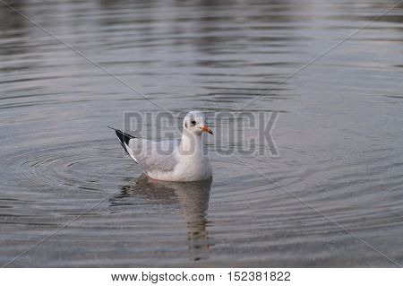 A relaxing seagull at the lake. Swimming Seagull