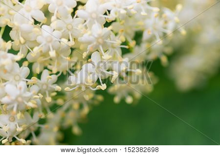 elderberry blossom flowers in the spring close background