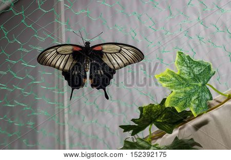 Tropical butterfly Papilio Papilio lowi on the grid.