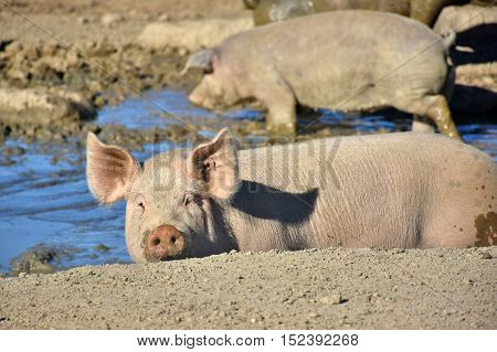 happy domestic pigs enjoying the mud in a wallow