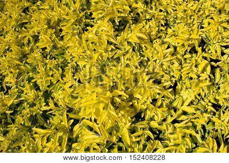 Autumn Yellow Leaf shrub petals for background